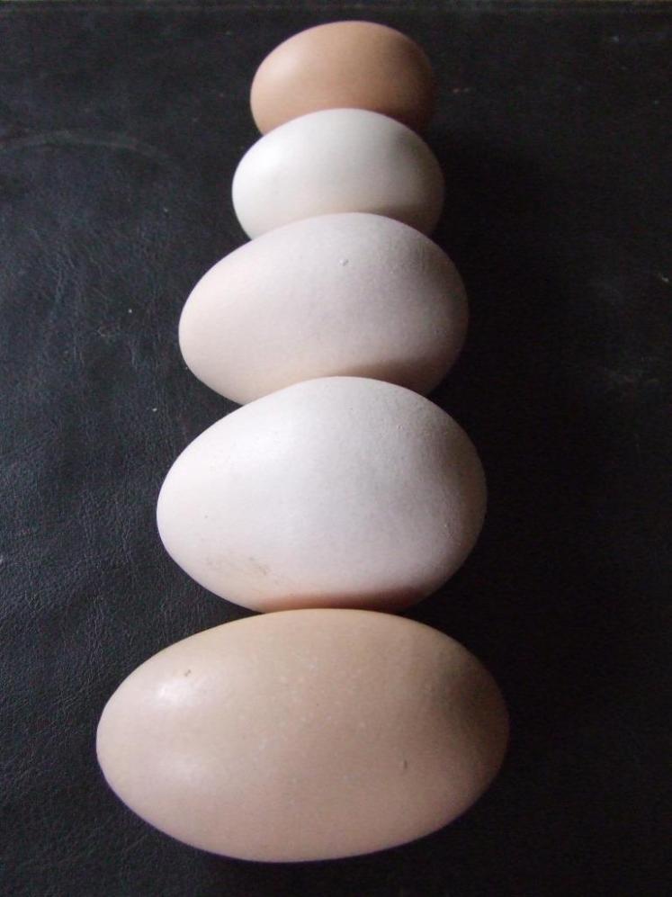 Egg line-up