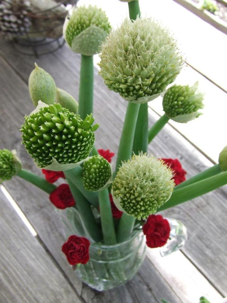 Spring onion and Dianthus 'Passion' flowers