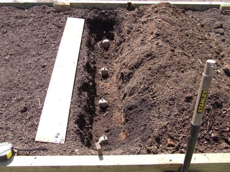 Potato trench