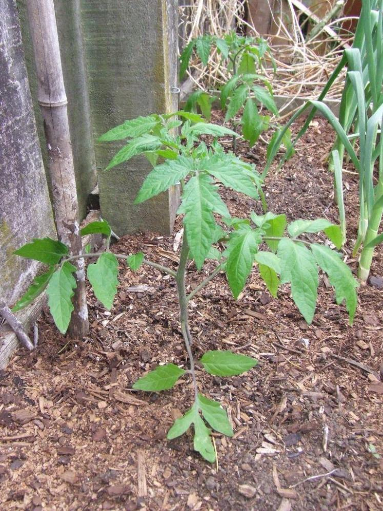 'Black Krim' tomato plant