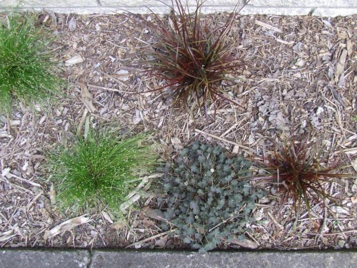 Isolepis, Uncinia and Geranium