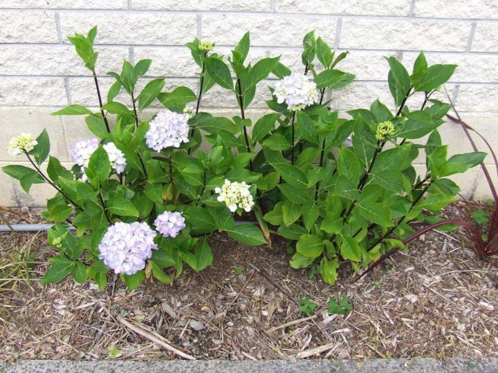 Hydrangea macrophylla 'Nigra'