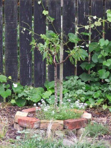 Dwarf almond 'Garden Prince'.