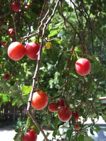 So many plums, but they were a little sour.
