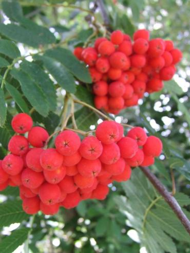 Berries on a rowan tree (Sorbus aucuparia). They are so bright they look almost fake.
