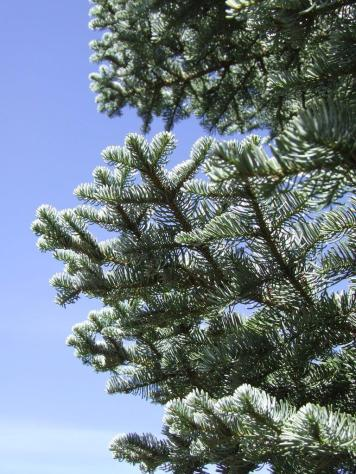 Red fir tree (Abies magnifica).