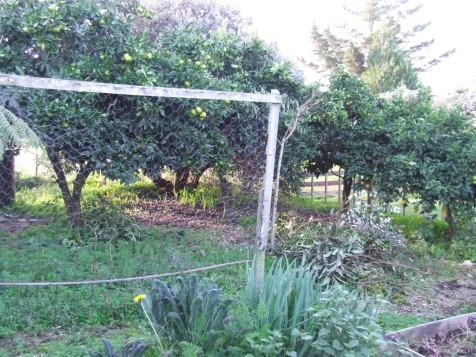 Then: Overgrown orchard by the vege garden.