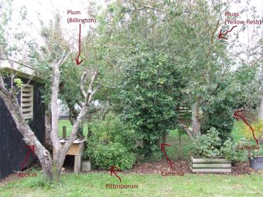 The Husband has been busy with his chainsaw, pruning large branches off the Billington plum tree that I marked for him and chopping down shrubs that were too close to the plum trees, blocking out light and being awkward.