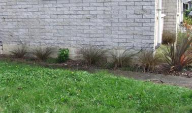 The front path garden now. This is a terrible photo, but a small child needed me. Plants replaced with native Carex tenuiculmis sedges and Lobelia angulata (Panakenake) ground cover. Camellia stump still needs to be removed.