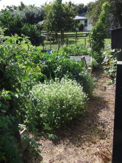 The Vege Garden today. Things are a little overgrown, but productive nonetheless.