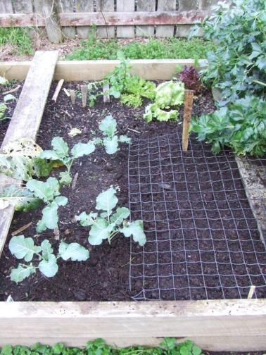 One lot of Printanor garlic is in this brassica/lettuce bed.
