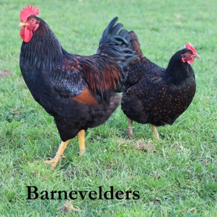 Double laced Barnevelder rooster and hen (photo credit: www.poultrycentral.co.nz).