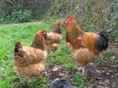 Buff Sussex (photo credit: www.poultrycentral.co.nz)