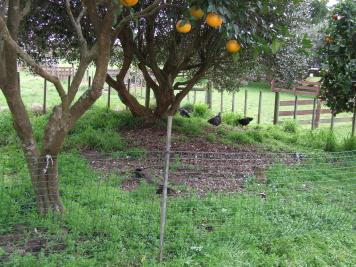I had to set up a temporary fence, but the chickens are in the orchard!