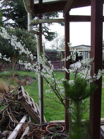 'Billington' plum tree.