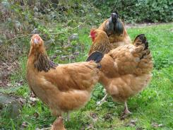 Buff Sussex hens (photo credit: www.poultrycentral.co.nz).