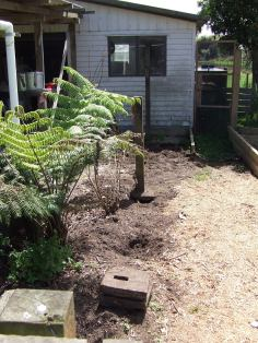 I had to dig out this silver fern (Cyathea dealbata), which was a mission. I have replanted it in the cedar garden and hope it will survive the upheaval. It appears that the rain barrel might have been positioned on top of a ponga stump (I wouldn't be surprised), as the two trunks had to be rammed out from the side of the barrel with a wrecking bar. In the rain. This was the post-Legolas task I threw myself into. Some people drink away their sorrows, I garden away my sorrows.