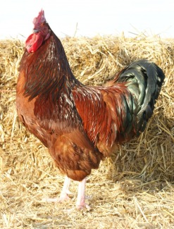 Red Sussex rooster (photo credit: www.britannicrarebreeds.co.uk).