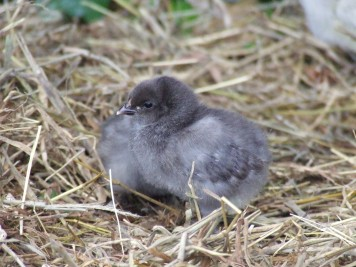 The blue Frodo chick, who I am going to refer to as Bluefro.