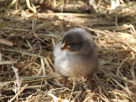 Leggyright as a wee chick.