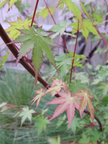 Maple leaves are always doing something interesting.