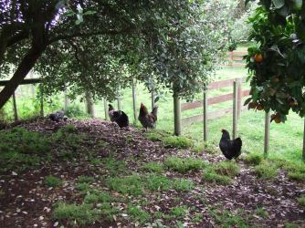 Just after Lydia (right) fought with Jane. Mr Bingley herds Jane and Lizzie into a corner by some of the chicks and won't let Lydia come near. Not with that fight face on, Lydia.