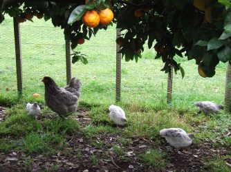 Frodo stands off to the side with some of the chicks.