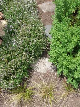 The thyme and oregano are always trying to take over my path.