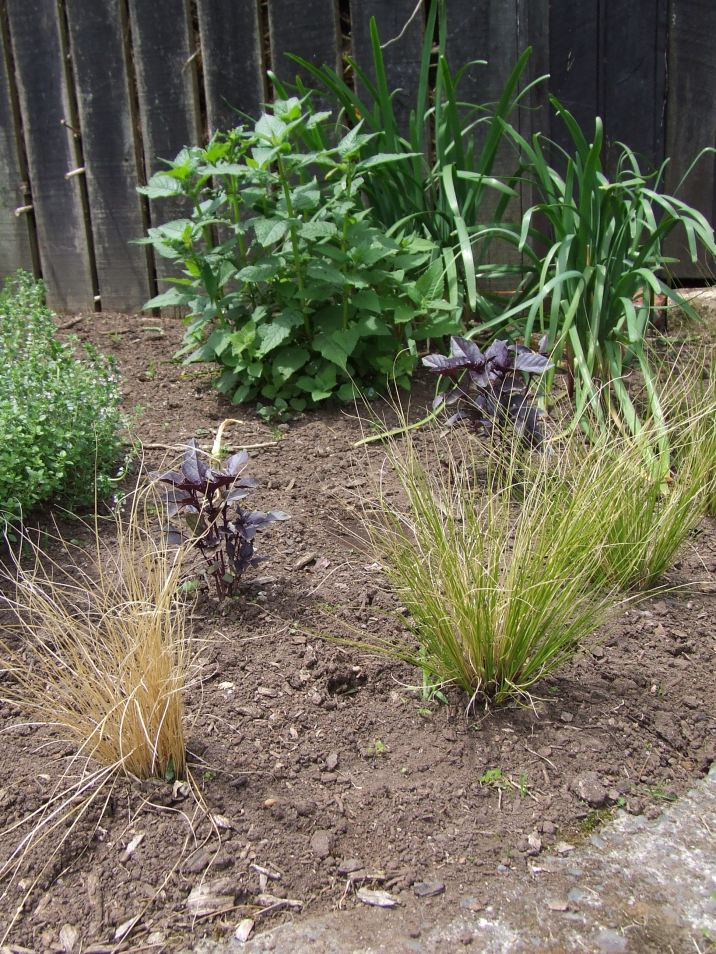 The edging of Carex albula with purple basil, bergamot and garlic chives behind.