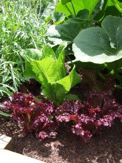 Lettuces.