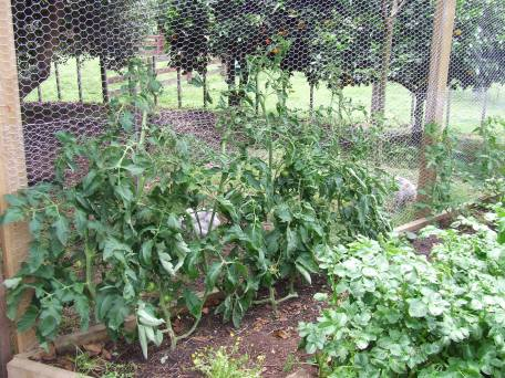 Tomato 'Black Krim'. The gap along the netting on the right is where there are supposed to be cucumber plants.