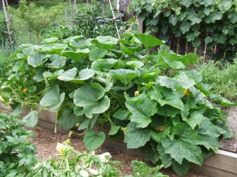 Pumpkins: Wee Be Little is the smaller mound on the right and the intermittently tamed Crown pumpkins are the larger, round-leaved mass.
