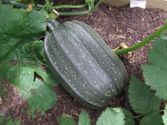 An Austrian Oil Seed pumpkin. They are fruiting much faster than the other pumpkin cultivars.