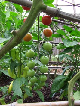 Cherry tomato 'Sweet 100'. At first I wondered what on earth it was, then remembered I had gotten one from The Mother and swapped it with the variety that was in there but not thriving.