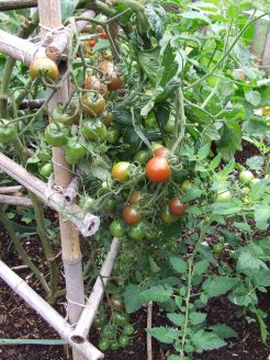 The 'Black Cherry' tomatoes have been tasty but one of the most-affected by disease.