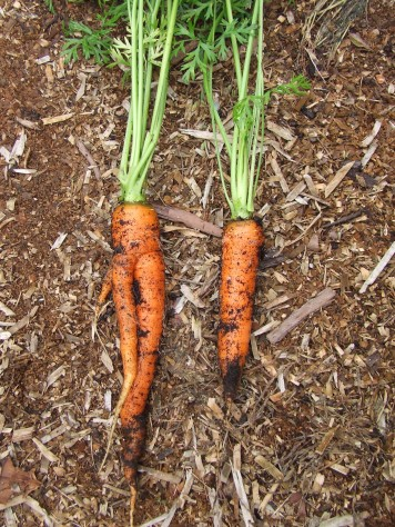 Some of the carrots are a bit fork-like. That's because the vege beds contain much organic matter, which is lumpy in places. They're still big though!