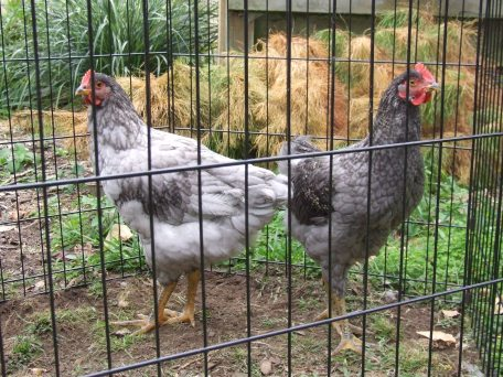 Leggyright and Leggyleft, the half Barred Rocks. Legolas sure produced pretty feather babies.
