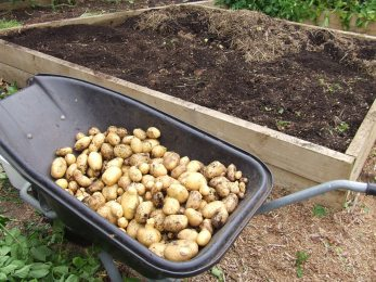 The Agria/Ilam Hardy harvest from the first potato bed.