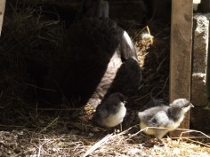 The chicks hang around while Frodo has a dust bath.