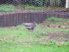 The chickens were so excited about their new pen that some of them, particularly Jane, still foraged in the steady rain.