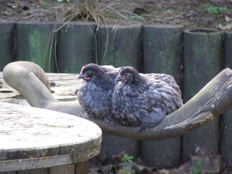 Sleepy time for the chicks, Mr Collins (left) and PB (right). But is PB a boy or actually a girl? I'm having doubts now.