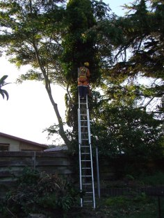 The Husband dismantles the tall, yellow, narrow conifer.