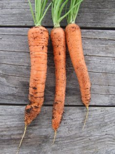 Some of the Berlicum carrots I grew earlier this year.