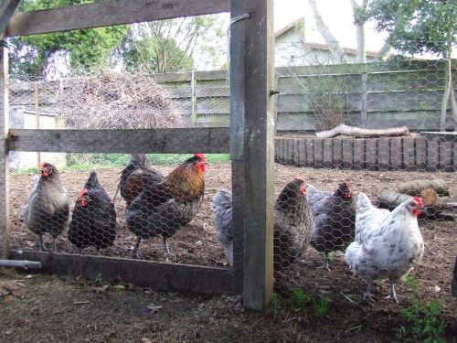 Chickens at the fence