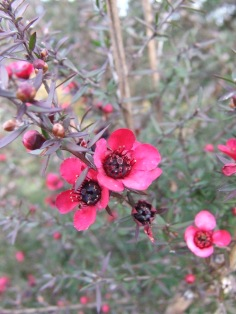 Manuka (Leptospermum scoparium) flowers.