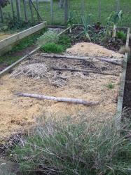 One day in the future there will be garlic leaves poking up out of my chicken wood shavings mulch.
