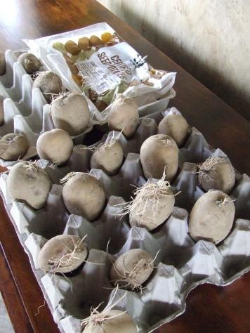 Some of the seed potatoes were already showing signs of growth. Time to get chitting.