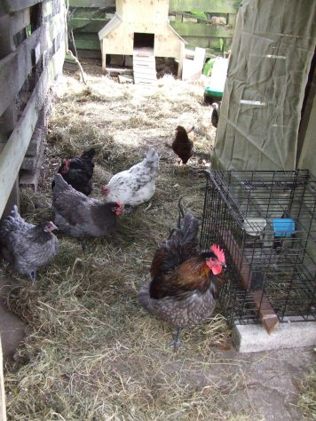 The chickens have been enjoying scratching in the hay I laid down to help protect their feet from the concrete in front of the woodshed and to keep the run area where the coop is a bit more sanitary.