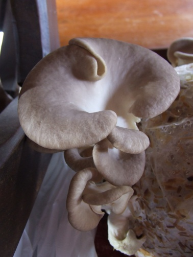 Oyster mushrooms: From growing bag in the garage...
