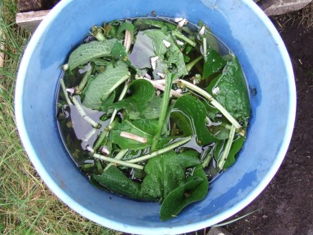 I made comfrey tea. Then I added chicken poop. Now, I'm just calling it compost tea.